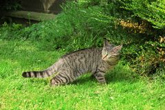 Cat hunting. Tabby cat outdoor on green grass. royalty free stock images