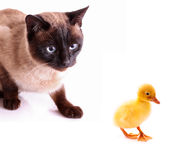 Cat hunting to duckling Stock Images