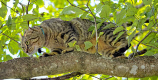 Cat Hunting in a Tree. Beautiful Highland Lynx cat on the limb of a tree watching birds royalty free stock photos
