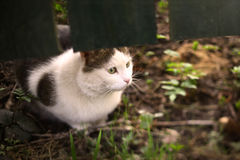 Cat hunting under the fence alert portrait on summer green grass background Royalty Free Stock Photo