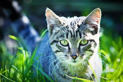 Cat hunts Royalty Free Stock Images
