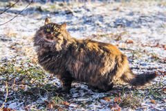 Cat hunts. Big fluffy cat is looking at a bush birds are sitting on Royalty Free Stock Photography
