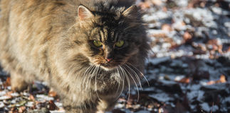 Cat hunts. Big fluffy cat is looking at its prey Stock Photography
