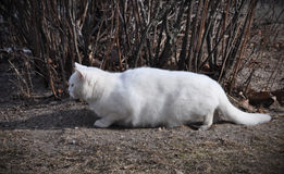 Cat hunts. A large white cat hunts on the street at the birds Stock Photo
