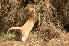 Cat hunts mice Royalty Free Stock Images
