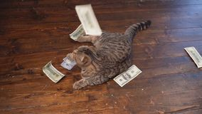 The cat hunts for money. Buisiness concept stock footage