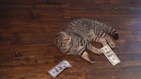The cat hunts for money. Buisiness concept stock video
