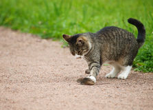 Cat hunts mouse Royalty Free Stock Images