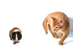 Cat Hunts On A Hamster Stock Image