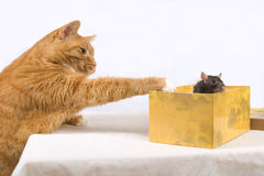 The cat hunts on a rat. On a white background Royalty Free Stock Photo