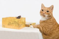The cat hunts on a rat. Stock Images
