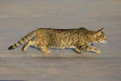 Cat Hunts Stock Images