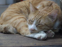 Cat. I do not know what cats dream Royalty Free Stock Photography