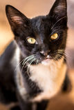 The cat II Royalty Free Stock Images