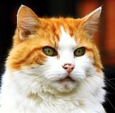 Cat. Image of a cat looking at you Royalty Free Stock Photo