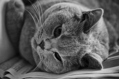 Free Cat In Greyscale Photo Stock Images - 82931114