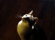 Cat Indoor In Back Light Royalty Free Stock Image