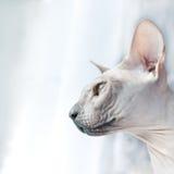 Cat Indoor - Portrait of Sphynx Stock Image