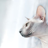 Cat Indoor - retrato de Sphynx imagem de stock