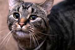 Cat Indoors Looking Into Distance sveglia fotografia stock libera da diritti