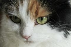 Cat is infected, pus eyes, stomatitis. The cat is infected, pus eyes, stomatitis Royalty Free Stock Photos