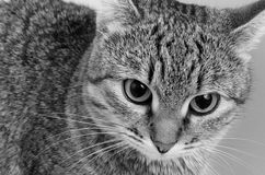Cat inquiring look. Royalty Free Stock Photo