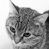 Cat inquiring look. Gray tabby cat inquiring look, close-up Royalty Free Stock Photography