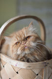 Cat inside a basket Royalty Free Stock Photo
