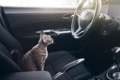 Cat is inside a car. Cat is traveling in a car. Beautiful devon. Beautiful Devon Rex cat is sitting in a car seat. Cat is feeling comfortable and relaxed. Train Stock Photography