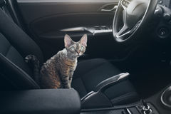 Cat is inside a car. Cat is traveling in a car. Beautiful devon Stock Images