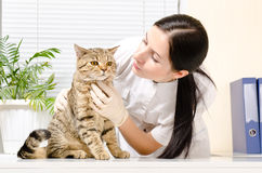 Cat on inspection at the vet. Cat Scottish Straight on inspection at the vet royalty free stock photos