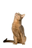 Cat intently looking up. Abyssinian cat intently looking up isolated on white Stock Photo