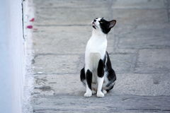 Cat intently looking up. Black and white cat intently looking up out of an home Stock Images