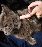 Cat interaction. Cat and human interaction, cat holding human finger Stock Image
