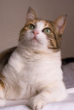 Cat interest. Domestic cat, large green eyes looking up with interest, tabby and white Stock Images