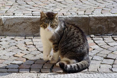 Cat invalid. The cat with broken leg Stock Photography