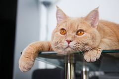Free Cat Is Lying On The Glass Table Stock Photography - 108300122