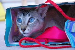 Cat Isn`t Out of the Bag! Royalty Free Stock Image