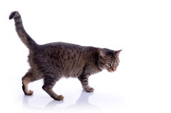 Cat Isolated Royalty Free Stock Photography