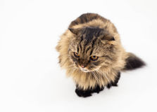 Cat isolated Royalty Free Stock Image