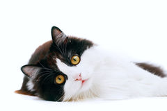 Cat isolated. Laying cat isolated on white background Stock Images