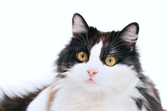 Cat isolated. Beautiful curious cat isolated on white Stock Image