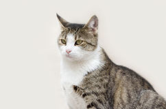 Cat isolated. Beautiful cat isolated on light gray background Royalty Free Stock Photos