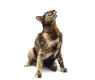 Cat Isolated en el fondo blanco fotografía de archivo