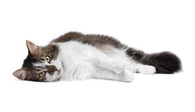 Cat isolated over white background Stock Photography