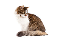 Cat isolated over white background Stock Photo