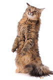 Cat isolated over white background Royalty Free Stock Photography