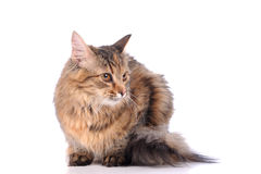Cat isolated over white background Royalty Free Stock Photos