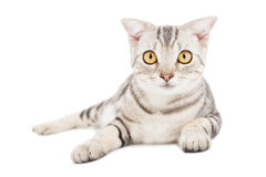 Cat isolated on white Royalty Free Stock Photos