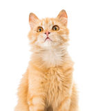 Cat isolated Royalty Free Stock Images